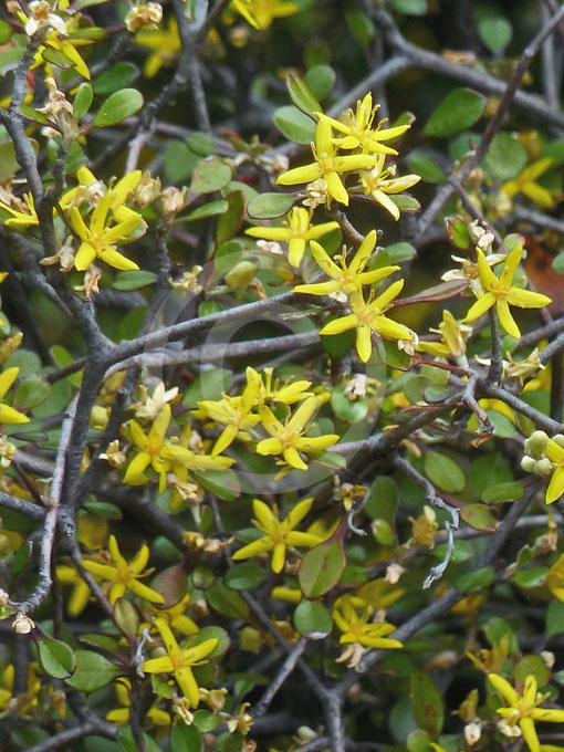 Corokia Cotoneaster Wire Netting Bush Information Amp Photos