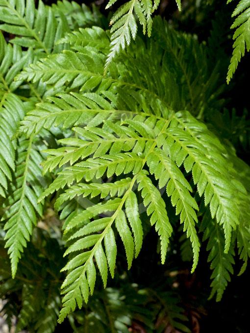 Evergreen Bush Types