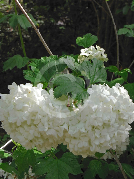 viburnum opulus roseum snowball tree guelder rose. Black Bedroom Furniture Sets. Home Design Ideas