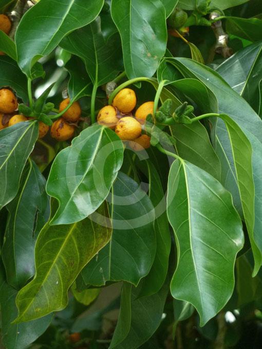 Ficus altissima   False Banyan, Lofty Fig, Council Tree ...