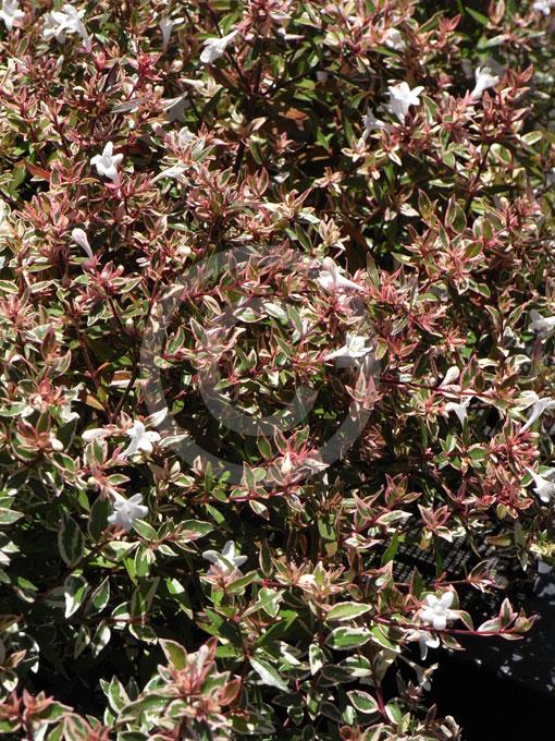 Abelia Grandiflora Francis Mason Francis Mason Abelia Golden